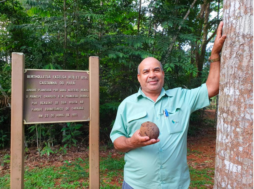O técnico Jeovanis Oliveira, com o ouriço da castanheira. Ele também acompanhou o plantio da árvores em meados de 1991 e ainda integra a equipe do Parque Zoobotânico Vale